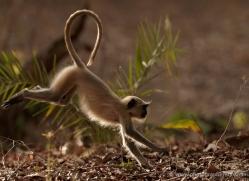 langur-monkey-india-1382-copyright-photographers-on-safari-com