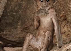 langur-monkey-india-1383-copyright-photographers-on-safari-com