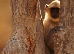 langur-monkey-india-1384-copyright-photographers-on-safari-com