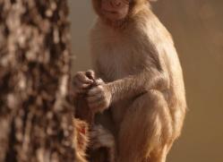 macaque-india-1453-copyright-photographers-on-safari-com