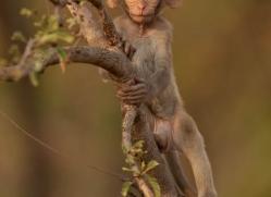 macaque-india-1454-copyright-photographers-on-safari-com