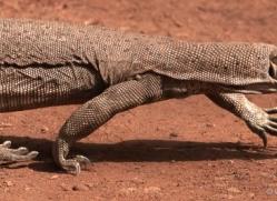 monitor-lizard-india-1443-copyright-photographers-on-safari-com