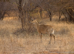nilgai-india-1385-copyright-photographers-on-safari-com