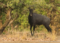 nilgai-india-1386-copyright-photographers-on-safari-com