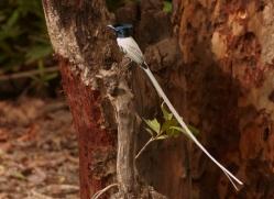 paradise-flycatcher-india-1430-copyright-photographers-on-safari-com