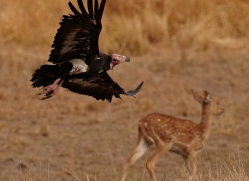red-headed-vulture-india-1452-copyright-photographers-on-safari-com