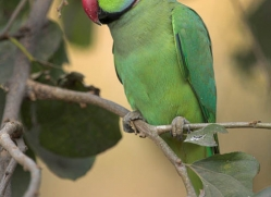rose-ringed-parakeet-india-1449-copyright-photographers-on-safari-com