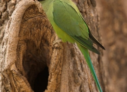 rose-ringed-parakeet-india-1450-copyright-photographers-on-safari-com