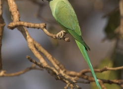 rose-ringed-parakeet-india-1451-copyright-photographers-on-safari-com