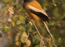rufous-treepie-india-1445-copyright-photographers-on-safari-com