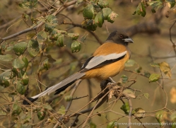 rufous-treepie-india-1446-copyright-photographers-on-safari-com