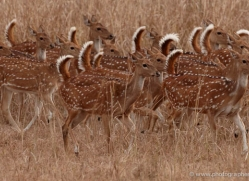 spotted-deer-chital-india-1392-copyright-photographers-on-safari-com