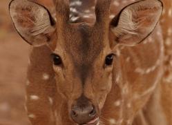 spotted-deer-chital-india-1394-copyright-photographers-on-safari-com