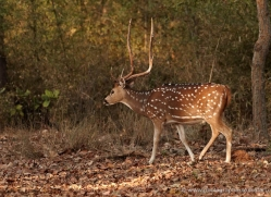 spotted-deer-chital-india-1398-copyright-photographers-on-safari-com