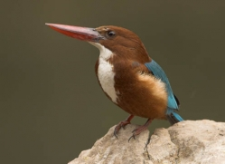 stork-billed-kingfisher-india-1406-copyright-photographers-on-safari-com