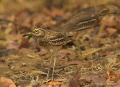thick-knee-india-1422-copyright-photographers-on-safari-com