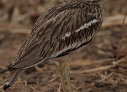 thick-knee-india-1447-copyright-photographers-on-safari-com