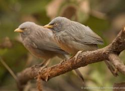 tickells-thrush-india-1428-copyright-photographers-on-safari-com