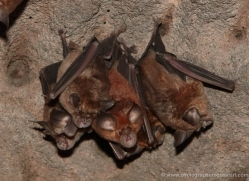 tomb-bats-india-1455-copyright-photographers-on-safari-com