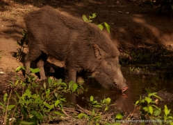 wild-boar-india-1439-copyright-photographers-on-safari-com