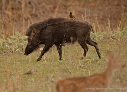 wild-boar-india-1440-copyright-photographers-on-safari-com