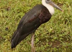 woolly-necked-stork-india-1417-copyright-photographers-on-safari-com
