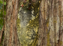 flying-lemur-3327-borneo-copyright-photographers-on-safari-com