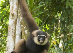 gibbon-3330-borneo-copyright-photographers-on-safari-com