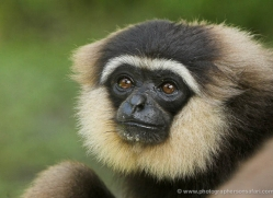 gibbon-3331-borneo-copyright-photographers-on-safari-com