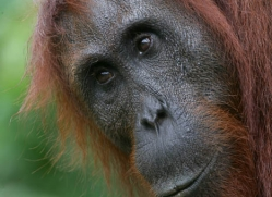 orangutan-3344-borneo-copyright-photographers-on-safari-com