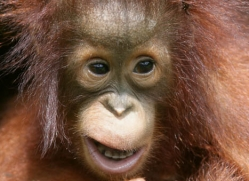 orangutan-3346-borneo-copyright-photographers-on-safari-com