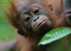 orangutan-3348-borneo-copyright-photographers-on-safari-com
