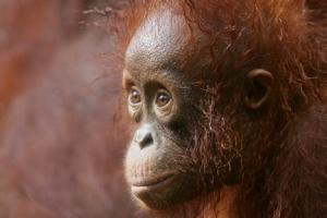 Orangutans – Borneo