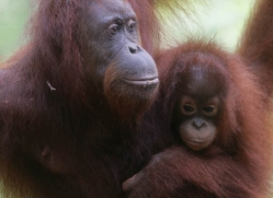 orangutan-3352-borneo-copyright-photographers-on-safari-com