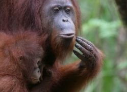 orangutan-3353-borneo-copyright-photographers-on-safari-com