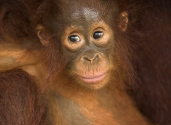 orangutan-3357-borneo-copyright-photographers-on-safari-com
