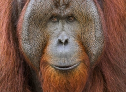 orangutan-3360-borneo-copyright-photographers-on-safari-com
