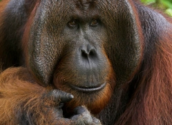 orangutan-3362-borneo-copyright-photographers-on-safari-com