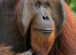 orangutan-3363-borneo-copyright-photographers-on-safari-com