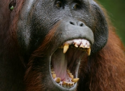 orangutan-3365-borneo-copyright-photographers-on-safari-com