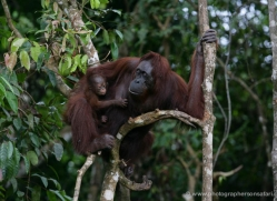 orangutan-3367-borneo-copyright-photographers-on-safari-com