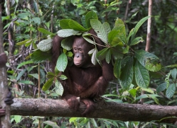 orangutan-3368-borneo-copyright-photographers-on-safari-com