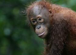 orangutan-3370-borneo-copyright-photographers-on-safari-com