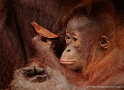 orangutan-3372-borneo-copyright-photographers-on-safari-com
