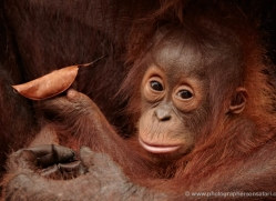 orangutan-3373-borneo-copyright-photographers-on-safari-com
