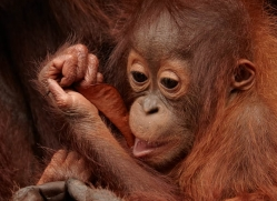 orangutan-3375-borneo-copyright-photographers-on-safari-com