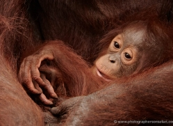orangutan-3376-borneo-copyright-photographers-on-safari-com