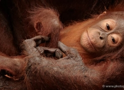 orangutan-3377-borneo-copyright-photographers-on-safari-com