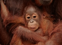 orangutan-3378-borneo-copyright-photographers-on-safari-com