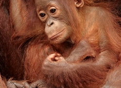 orangutan-3379-borneo-copyright-photographers-on-safari-com